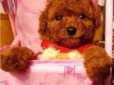 苏州出售健康放心的泰迪宝宝 签定健康协议 纯种协议