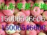 山东苹果批发东阳红富士苹果产地