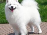 微笑天使萨摩耶幼犬,签协议包健康,可送货上门