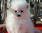 合肥出售纯种健康-博美俊介幼犬-颜色齐全