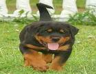 cku注册犬舍 双血统罗威纳可上门挑选