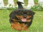 自家大狗生了一窝罗威纳可以上门看狗父母