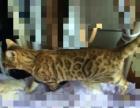 8个月孟加拉豹猫母赔钱卖了