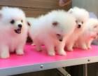 西安出售3个月的博美犬(公母均有)包犬瘟细小-签协议