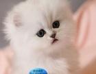 小金吉是小型的玩赏猫的一种。个性聪明又自信、轮廓匀称、强健