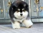 长春哪里有阿拉斯加犬出售 纯种阿拉斯加犬多少钱