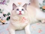 长春哪里有卖纯种布偶猫呢?长春布偶猫一只多少钱呢