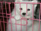 哪里有卖银狐犬的 一般银狐多少钱一只 银狐好养吗