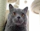 英短纯种蓝猫一只找新家