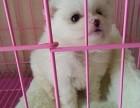 重庆本地犬舍直销纯种 银狐犬 包健康签协议送货上门