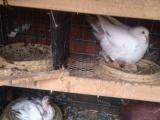 肉鸽出售(个人)
