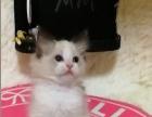 各类布偶猫超低价出售!欢迎比价!