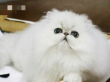 猫舍精心打造纯血统高品质波斯猫幼猫 下单送猫咪用品