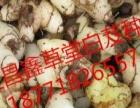 紫花三叉宽叶大白芨块茎、种苗大量出售