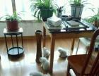 家养金吉拉猫出售啦