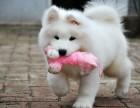 纯种萨摩耶幼犬宝宝出售 品质可靠 疫苗齐全