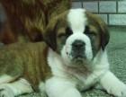 宁波那里有圣伯纳犬卖 宁波圣伯纳犬价格 宁波圣伯纳犬多少钱