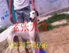 格力犬价格 格力犬出售 格力犬哪里有卖 格力犬图片