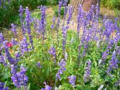 薰衣草报价 品质好的薰衣草供应尽在东骏花卉