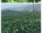 百香果-农家自销新鲜百香果