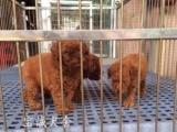 佛山哪里有宠物狗专卖店 佛山禅城区哪里有卖贵宾犬