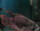 出售30厘米印尼四纹虎鱼