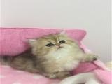 貓舍出售純種健康金吉拉貓可上門挑選全國發貨