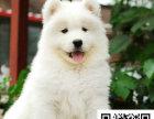 在哪里买纯种的萨摩耶幼犬 萨摩耶幼犬最低多少钱
