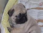 哈尔滨出售纯种巴哥宠物犬
