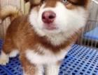 家养一窝拉布拉多(限时领养)疫苗已做 狗贩勿扰