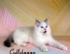 美国CFA注册猫舍【鳕鱼猫苑】布偶猫蓝双色公猫