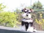 邢台纯种雪纳瑞犬多少钱 在邢台什么地方能买到纯种雪纳瑞犬