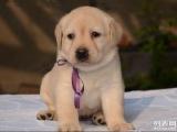 高品质赛级拉布拉多幼犬出售 育苗做完 协议质保