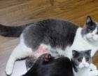 杭州 英国短毛猫 英短 蓝白 加白 梵文 公母