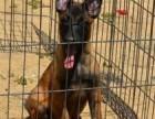 出售科目马犬纯种马犬价格马犬幼犬带血