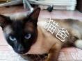 可爱暹罗猫找新主人