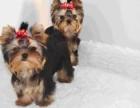 青岛本地犬舍出售纯种幼犬,约克夏,血统纯正,保证健康