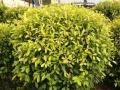优惠出售黄叶榕树,3年树龄,1万二千元清货