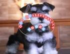 萌到极点 迷你活泼可爱雪纳瑞幼犬保活保健康.有协议