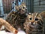 转让漂亮的孟加拉bao猫 性情十分温顺 疫苗打的