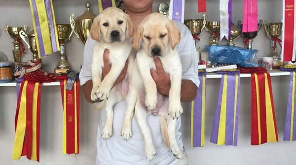 500起出售纯种拉布拉多犬,赛级拉布拉多犬,包品质可签协议