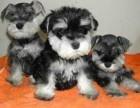犬舍繁殖纯种雪纳瑞 纯种健康养活 可签协议