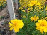 南京草花批发|学校小区绿化宿根花卉|时令草花万寿菊