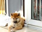 长春哪里卖纯种柴犬 长春哪里的柴犬便宜 长春柴犬多少钱