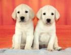 北京出售 拉布拉多幼犬 纯种健康保障 疫苗驱虫已做