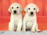 河源源城出售宠物狗,拉布拉多幼犬狗狗出售,包纯种,包健康