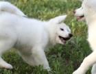 正规犬舍繁殖 赛级品质 日系秋田 包活 包健康