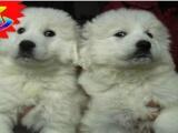出售纯种高品质大白熊,保健康纯种可上门签协议