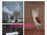 保定元宝鸽观赏鸽肉鸽养殖基地