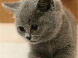 江苏苏州纯种英短蓝猫多少钱能买